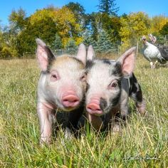 Best piggy friends🐷 with a side of photobombing turkeys! Cute Animal Photos, Zoology, Best Friends, Cute Animals, Turkey, Veganism, Vegetarian, Instagram, Cute Babies