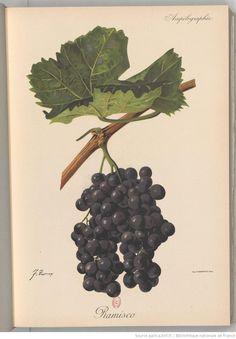 Ramisco - Ampélographie : traité général de viticulture. Tome 5 / publié sous la direction de P. Viala,..., V. Vermorel,... ; avec la collaboration de A. Bacon, A. Barbier, A. Berget... [et al.] Éditeur : Masson et Cie (Paris) 1901-1910