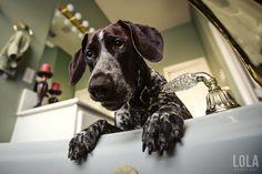 belo rosto ponteiro cão bonito fotos