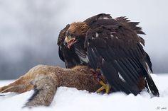 Golden eagle feeding on a red fox, Nasavrky, Czech Republic Eagle Face, Bald Eagle, Photo D Aigle, Fox Eat, Bird Calls, Peregrine Falcon, Eagle Bird, Golden Eagle, Cute Birds