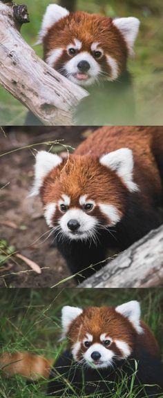 Introducing Clark, the San Diego Zoo's newest red panda resident.  photos: Paul Manaig
