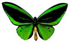 157-green_birdwing_butterfly