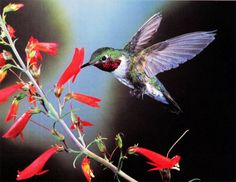 Hummingbird sipping the nectar from flower