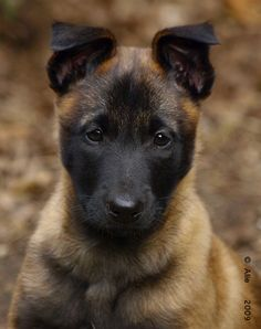 Ivory - Mechelse Herder - Malinois - My new dog: a puppy - age 7 1/2 ...