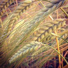 wheat fields - A.Swainston instagram