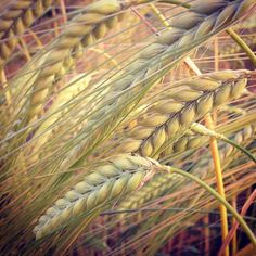 wheat fields - A.Swainston instagram