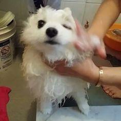 CongCong: it is my time now  #whitepomeranian #pomeranian #pet #puppy #cute