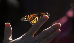 The monarch butterfly might end up on the endangered species list this year