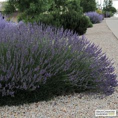 Lavandula 'Grosso' is a large growing (30-32