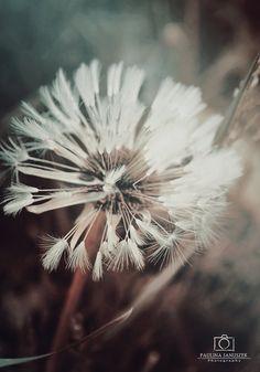love by Amiltarea #dandelions #nature