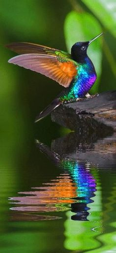 Hummingbird reflections in the water.... much lower to the earth than usually photographed! by rhea