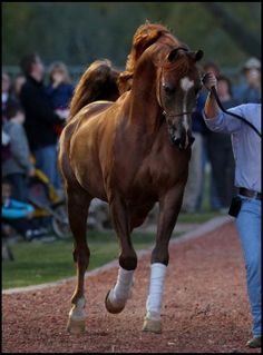 RHR Marcedes - will breed a mare to him some day!!