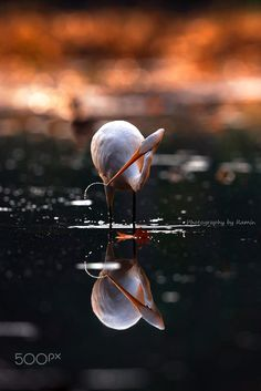 Egret & Sunset by Photography by Ramin......  #water #bird #Canada #Sunset #Beauty #Goldenhour #Ottawa #Reflection #Greategret #Ottawanature #Beautyinnature #Ottawawildlife #Mudlake