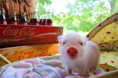 Pig - Micro Mini Teacup Pigs - Nanos - Miniature Piggies - Piglets - Hollywood, Florida i want oneee ! Cute Baby Pigs, Cute Piggies, Cute Baby Animals, Funny Animals, Tiny Pigs, Pet Pigs, Mini Teacup Pigs, Teacup Piglets, Tier Fotos