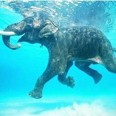 Visit Rajan the swimming elephant. One of few salt water swimming elephants remaining in the Andaman Islands Happy Elephant, Asian Elephant, Elephant Love, Elephant India, Elephant Facts, Elephant Print, Bull Elephant, Funny Elephant, Elephant Walk