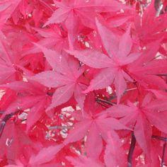 Acer palmatum 'Fireglow' bestellen en kopen doet u bij het Japanse esdoorn centrum uit Boskoop. Goedkope Japanse esdoorn direct van de japanse esdoorn kwekerij.