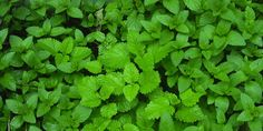 Edible ground cover plants