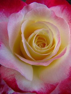 Beautiful Rose Double Delight - the most perfumed rose of all.