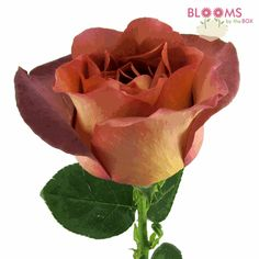 Wholesale Rose Leonidas Brown 40 Cm - Blooms by the Box