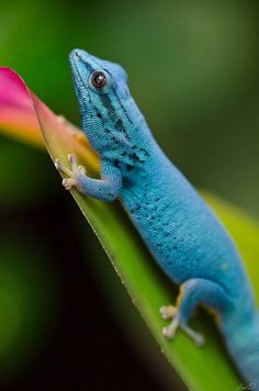 Lygodactylus williamsi is a critically endangered species of lizard, endemic to a small area of Tanzania. Common names include turquoise dwarf gecko, William's dwarf gecko, or, in the pet trade, electric blue gecko.