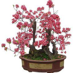 10pcs Seeds RED PRUNUS ( prunus mume ) bonsai seed Home Garden Decor #Unbranded