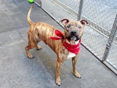 TO BE DESTROYED - 07/14/14 Manhattan Center -P  My name is MAXIMUS. My Animal ID # is A1005656. I am a neutered male br brindle pit bull mix. The shelter thinks I am about 6 YEARS old.  **LOVES DOGS, CATS, and KIDS!**  I came in the shelter as a OWNER SUR on 07/05/2014 from NY 11222, owner surrender reason stated was MOVE2PRIVA.