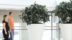Ficus elatica Ficus, Planter Pots, Hydroponics, Planting, Healing, Plants, Figs, Fig, Ficus Tree