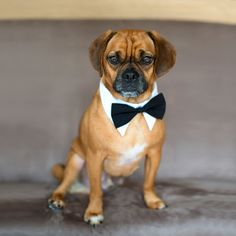 Dapper Dog!!  So funny - bow tie collars for the pooch