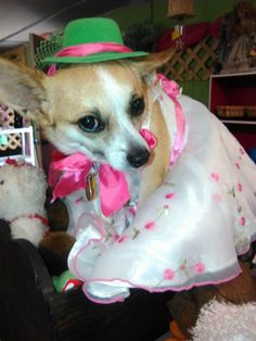 27ceedc6ee1ff Pretty Chihuahua in a fancy dress and hat – Adorable pictures of dogs  wearing clothes Pictures