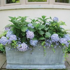 29 Ways to Grow Hydrangeas in Containers - Modern Design Hydrangea Potted, Smooth Hydrangea, Hydrangea Care, Hydrangea Macrophylla, Hydrangea Not Blooming, Blue Hydrangea, Hydrangeas, Potted Plants, Container Plants