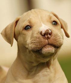 #American #Pit #Bull #Terrier #puppy dog pitbull