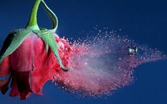 Like a high-speed Cupid's arrow, an air-rifle pellet pierces the heart of a rose at some 800 feet per second. The flower, plucked from a garden and flash frozen in liquid nitrogen, shatters in a spray of petal fragments. Rose Flower Hd, 3d Rose, Hd Flowers, Paper Flowers, 3d Pictures, Cool Photos, Hd Photos, Imagenes Wallpapers Hd, Motion Wallpapers