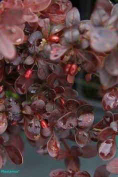 Berberis con sus preciosas hojas y frutos rojos. http://www.plantamus.es/ARBOLES-ARBUSTOS