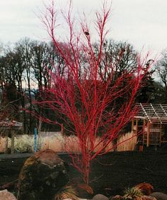 Acer palmatum 'Sango Kaku'    Acer palmatum 'Sango Kaku' red coral bark. Too large for where I want, but gorgeous.