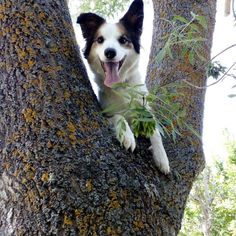 Happy Friday from this little fella! Who else has a dog that loves to climb trees!? :D #bordercollie #bordercollieoftheday #bordercolliefc #dogsintrees #dogsofinstagram #dogs #happyfriday