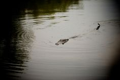 Get my 7 FREE basic photography tips - you NEED to know right here; http://pw5383.wixsite.com/free-photo-tips | Photographer Pernille Westh | Alligator photographed in New Orleans, US