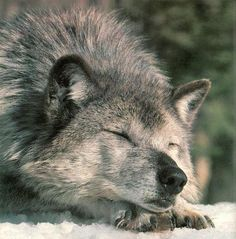 Rhonda Lanier Shared Wolves of the Rockies Photo Beautiful Wolves, Animals Beautiful, Cute Animals, Funny Animals, Sleeping Wolf, Sleeping Beauty, Of Wolf And Man, Wolf Spirit Animal, Howl At The Moon