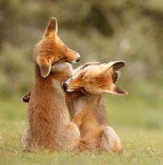 Red Foxes by Roeselien Raimond - thrumyeye More