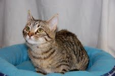 Cat of the Week     Kelly is a female domestic short-hair who is 4 months old. This baby was brought to CARA when she was about an hour old; she has been raised by a foster mom. Kelly is very sweet and loving and is used to being around other dogs and cats.