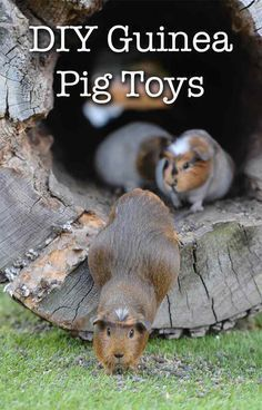 Pin On Small Pets Guinea Pigs Rabbits Rats Mice