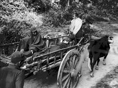 WWII American infantryman and Kachin scout wounded on Burma front are transported on ox cart to aid station. Photographer Colgate