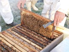 Our beekeepers at work