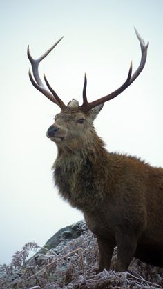 Red deer are found all around Britain but mainly in Scotland.  They have an off spring of 1-2.