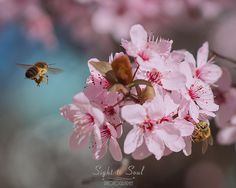 Flying Honey Bee Art Nature Photography Bees & Pink Flowers Fine Art Print