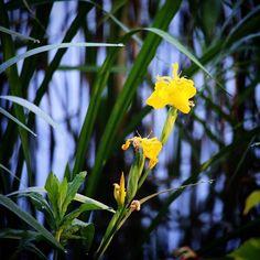 Iris  #tv2vejret #fyn #nature #visitdenmark #naturelovers #natur #denmark #danmark #dänemark #landscape #nofilter #assens #mitassens #sonnenshein #opdagdanmark #fynerfin #assensnatur #vielskernaturen #visitassens #instapic #picoftheday #june #iris #flora