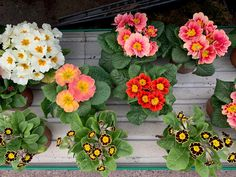 Primroses are perfect for adding a cheerful burst of colour to your garden 🌸 Primroses, Flower Pots, Flowers, Floral Wreath, Wreaths, Colour, Canning, Garden, Plants