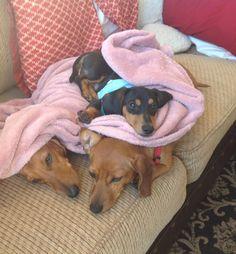 Dachshunds bunk bed!!! #dachshund