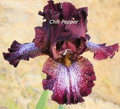 TB Iris germanica 'Chili Pepper' (Holk, 1996)
