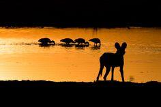 Wild dog sunset in Okavango Delta, Botswana ©Dominik Behr