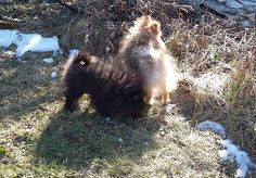 Liliputpoms pomeranian kennel